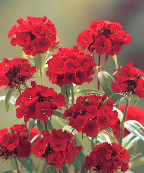 Dianthus-Carousel