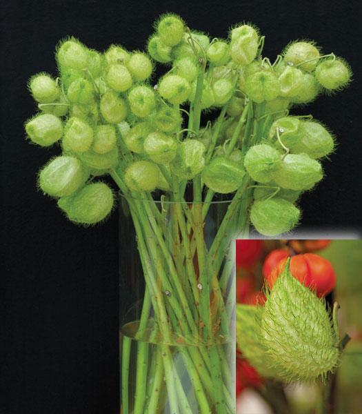 Gomphocarpus-Hairy-Balls-Vase
