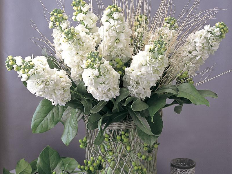 Matthiola-Canneto-White—image