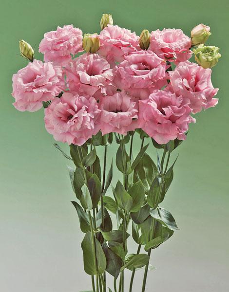 TU672-Lisisanthus-F1-Super-Magic-Pink