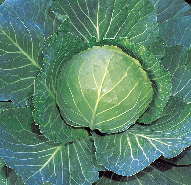 Cabbage-QUICK-START