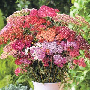 Achillea-F2-Flowerburst-Red-Shades