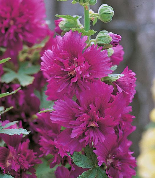 Alcea hollyhock spring celebrities series american takii for Alcea rosea