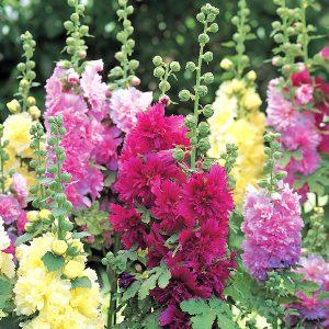 Alcea-Spring-Celebrities---image