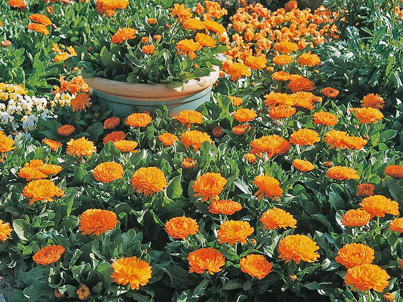 Calendula-Zen-Garden