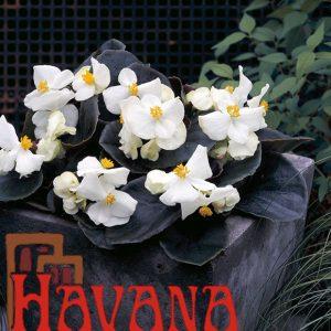 F1-Havana-series-image