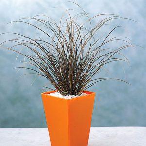 Carex-flagelilifera-Auburn