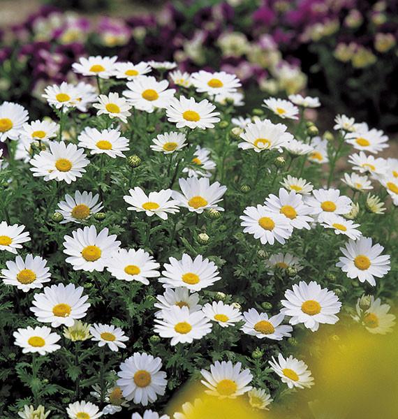 Chrysanthemum-Snowland