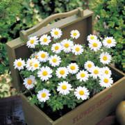 Chrysanthemum-Snowland-in-box