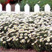 Chrysanthemum-Snowland-in-garden