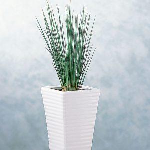 Juncus-Hedgehog-Grass-tall
