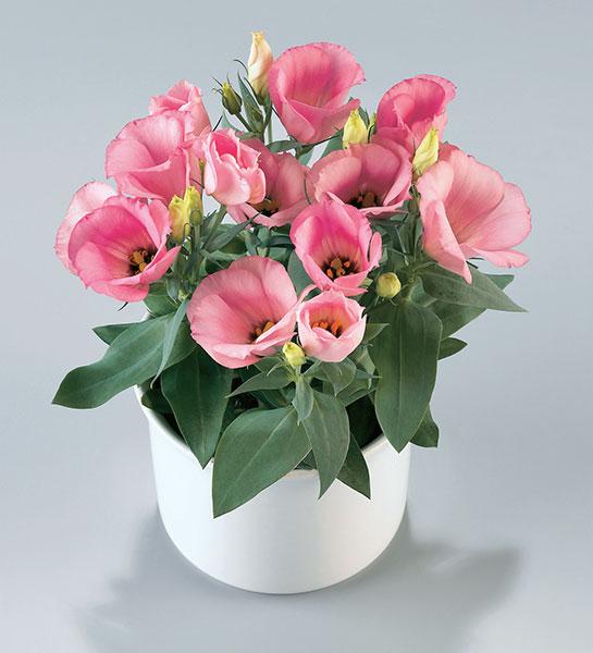 Lisianthus-F1-Carmen-Rose