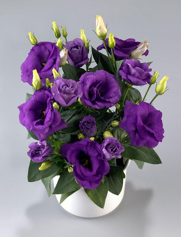 Lisianthus-Rosie-Lavender-Blue