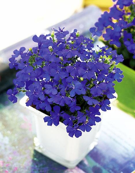 Lobelia-Aqua-Blue