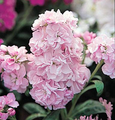 Harmony Blossom