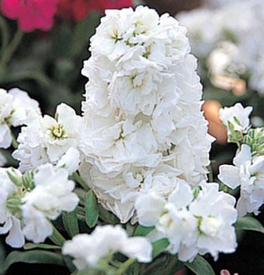 Matthiola stock harmony series american takii stock harmony white flowers mightylinksfo