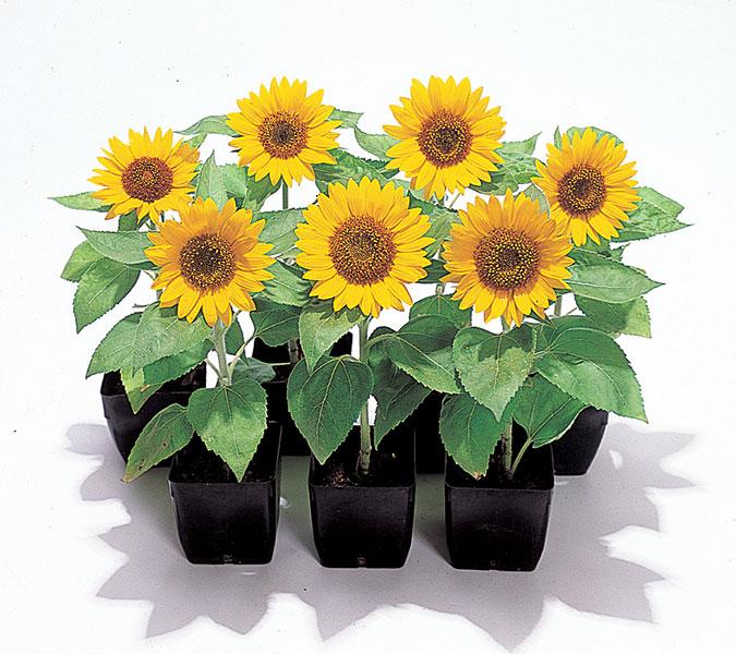 Sunflower-Big-Smile
