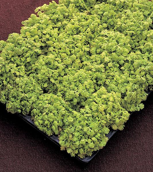 Tanacetum-Golden-Moss