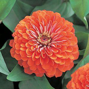 Zinnia-F1-Dreamland-Coral-Flower