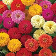 Zinnia-F1-Dreamland-Flowers