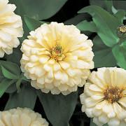 Zinnia-F1-Dreamland-Ivory-Flowers