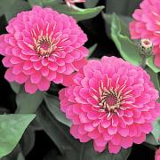 Zinnia-F1-Dreamland-Pink-flowers
