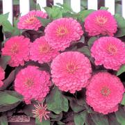 Zinnia-F1-Dreamland-Pink-plant