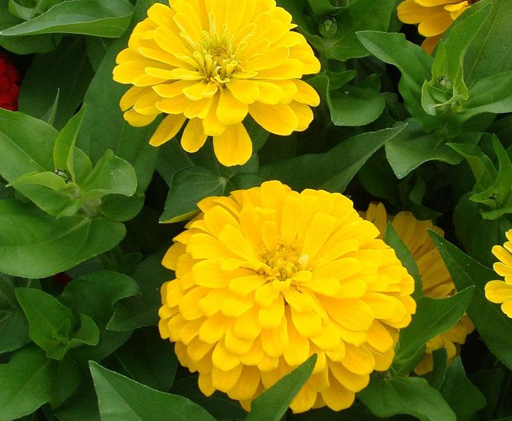Zinnia f1 dreamland series american takii zinnia f1 dreamland yellow mightylinksfo Choice Image