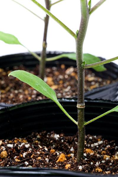 Eggplant-Rootstock-Java