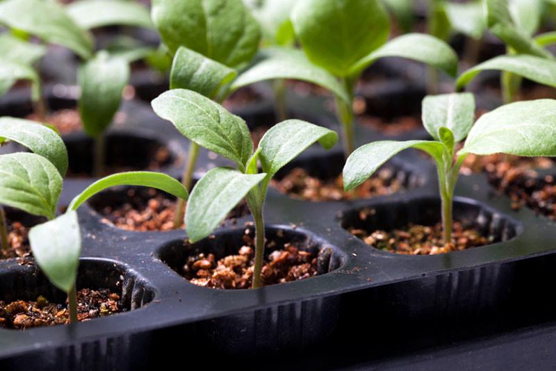 Eggplant-Rootstock-Zippy