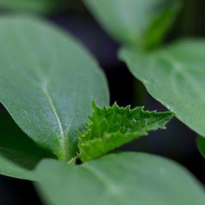 Titan Cucumber Rootstock