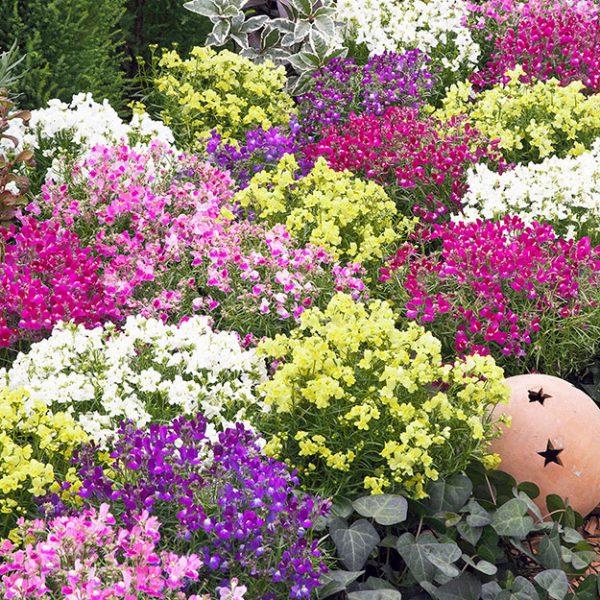 Linaria-Fantasista-Garden